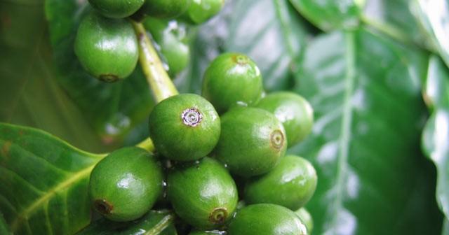 القهوه الخضراء و فقدان الوزن