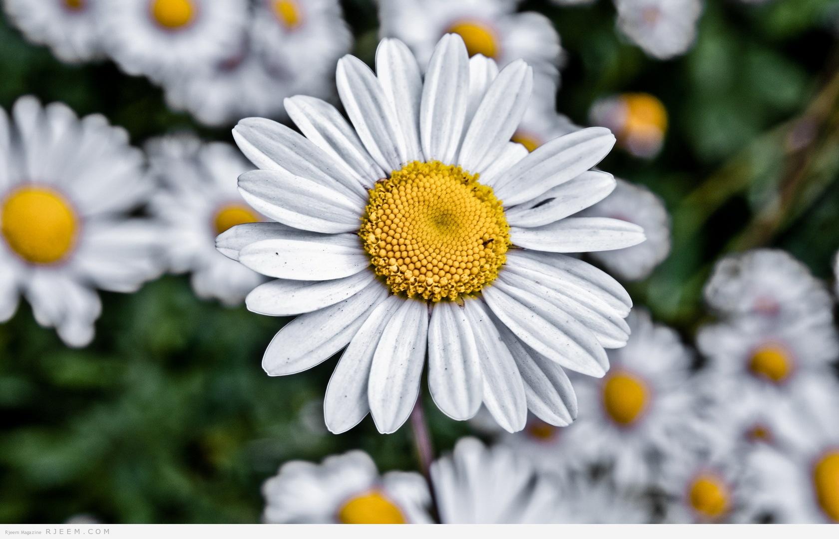 Красивые картинки полевых цветов 35 фото  Прикольные