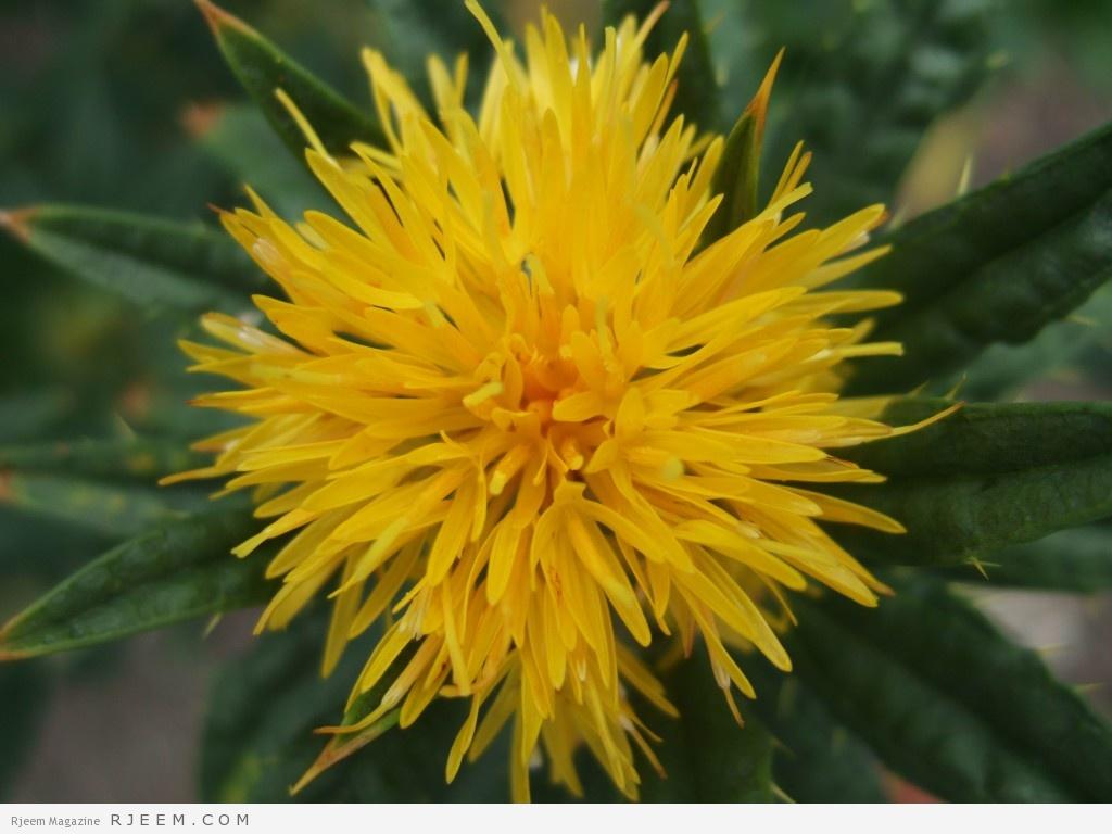 زيت العصفر - فوائد زيت القرطم الصحية والعلاجية