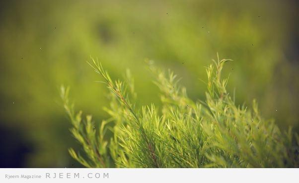 Photo of فوائد زيت شجرة الشاي