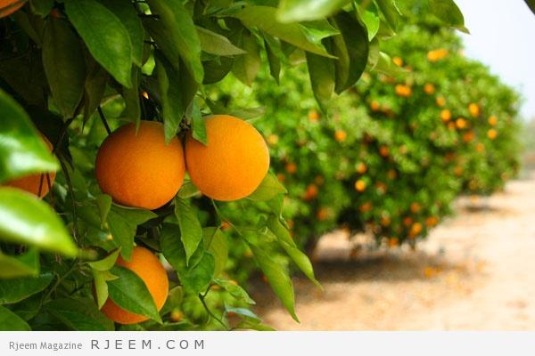 Photo of البرتقال-اهم استعمالات البرتقال في الصحة و الجمال و التخسيس