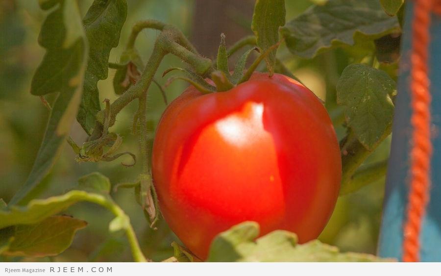 Photo of أضرار الطماطم