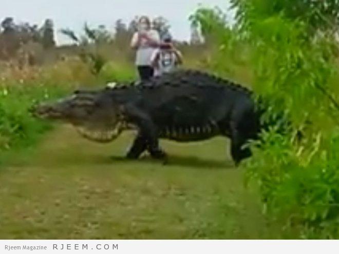 Photo of فيديو: تمساح بحجم ديناصور يتنزه قرب السياح في فلوريدا