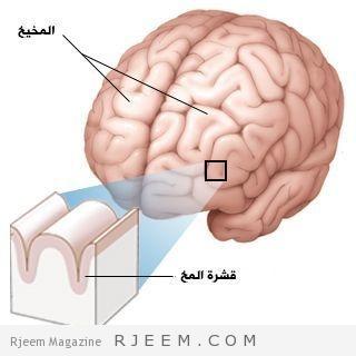 Photo of بالصور كيف يعمل كل جزء في الدماغ البشري
