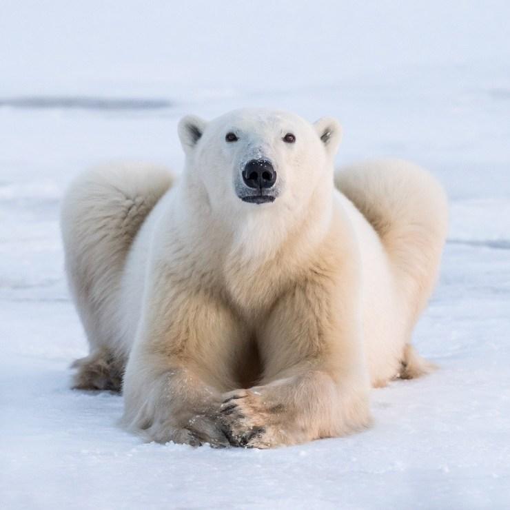 كيف تكيف الدب القطبي مع البيئة الباردة مجلة رجيم