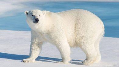 Photo of كيف تكيف الدب القطبي مع البيئة الباردة