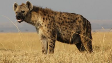 Photo of لماذا أصبح حيوان الضبع رمز الحقارة والدنو لدى الإنسان؟