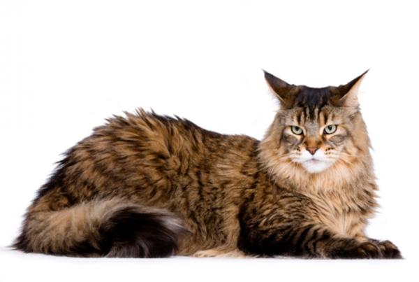 صور قط ماين كون Maine Coon Cat