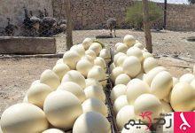 Photo of فوائد بيض النعام للجنس والبشرة