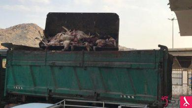 Photo of مصادرة أغنام تالفة في حلقة الكعكية بمكة