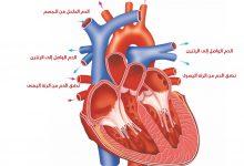 Photo of كيفية و آلية عمل القلب البشري