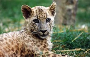 Photo of القط النمر Leopard Cat , صور و معلومات عن قط النمر