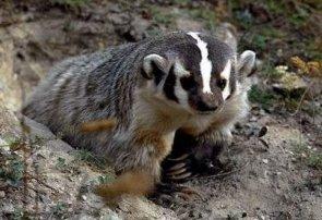 Photo of الغرير الأمريكي الشمالي Badger , صور معلومات عن الغرير الامريكى الشمالى