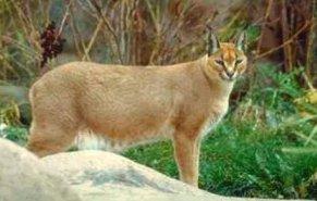 Photo of حيوان وشق الصحراء Caracal , صور و معلومات عن وشق الصحراء