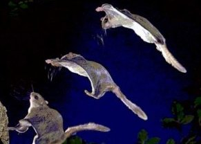 Photo of السنجاب الجنوبي الطائر Flying Squirrel , صور و معلومات عن السنجاب الطائر