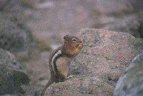Photo of السنجاب الأرضي الذهبي Golden-mantled Ground Squirrel , صور و معلومات عن السنجاب الذهبى
