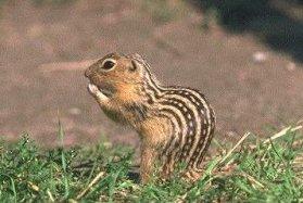 Photo of سنجاب الأرض المخطط Thirteen-lined Ground Squirrel , صور و معلومات عن سنجاب الارض امخطط