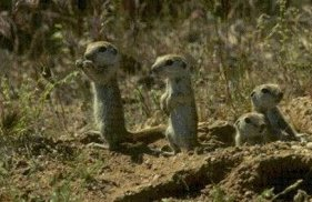Photo of سنجاب الأرض Ground Squirrel , صور و معلومات عن سنجاب الارض