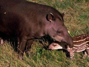 Photo of السناد البرازيلي Brazilian Tapir , صور و معلومات عن الساد البرازيلى