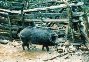 Photo of الخنزير البري الأوروبي European Wild Boar , صور و معلومات عن الخنزير البرى الاوروبى