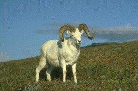 Photo of الخروف دال Dall Sheep , صور و معلومات عن الخروف دال