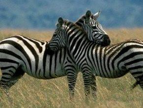 Photo of حمار الزرد Zebra , صور و معلومات عن حمار الزرد