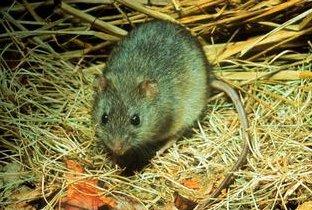 Photo of جرذ مستنقعات الأرز Marsh Rice Rat , صور و معلومات عن فار مستنقعات الارز
