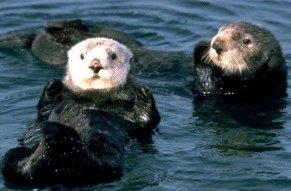 Photo of ثعلب الماء Sea Otter , صور و معلومات عن ثعلب الماء