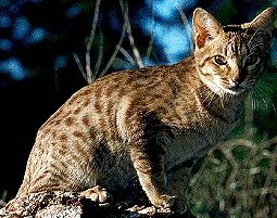 Photo of قط الأوسيكات Ocicat , صور و معلومات عن قط الاوسيكات