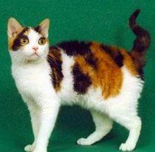 Photo of الأمريكي السلكي الشعر American Wirehair , صور و معلومات عن القط الامريكى السلكى الشعر