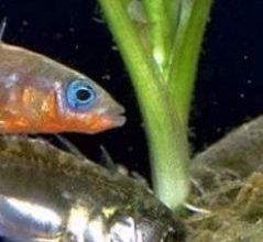 Photo of سمكة مُشْوِك Stickleback , صور و معلومات عن سمكة المشوك