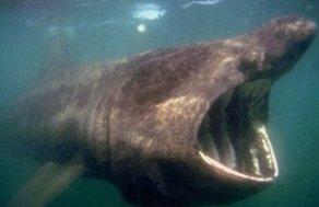 Photo of القرش المتشمس Basking Shark , صور و معلومات عن سمكة القرش المتشمسة