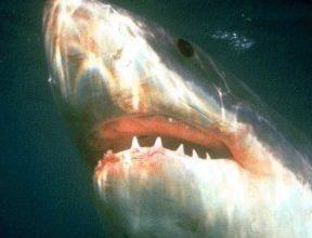 Photo of القرش الأبيض العظيم Great White Shark , صور و معلومات عن القرش الابيض