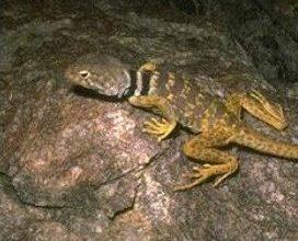 Photo of العظاءة المطوقة Collared Lizard , صور و معلومات عن العظاءة المطوقه