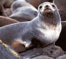 Photo of عجل البحر الشمالي ذو الفراء Northern Fur Seal , صور و معلومات عن عجل البحر الشمالى