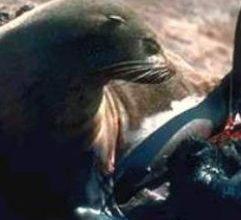Photo of عجل البحر Seal , صور و معلومات عن عجل البحر