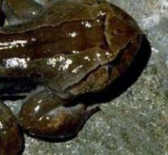 Photo of الضفدع الشعري Hairy Frog , صور و معلومات عن الضفدع الشعرى
