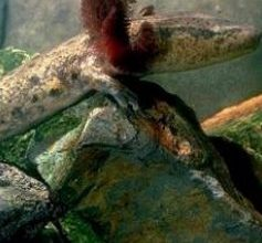 Photo of سمندل الطين MudPuppy , صور و معلومات عن سمكة سمندل الطين