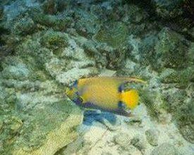 Photo of السمكة الملاك الصفراء Yellow Angel Fish , صور و معلومات عن سمكة الملاك الصفراء