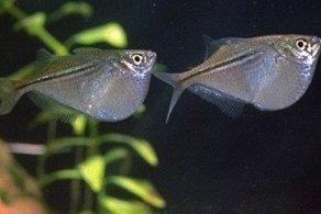 Photo of السمكة الفضية Silver Hatchet Fish , صور و معلومات عن السمكه الفضيه