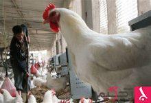 Photo of السعودية: ارتفاع عدد إصابات انفلونزا الطيور بين الطيور