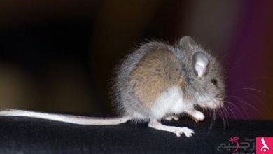 Photo of تفسير الفئران في الحلم