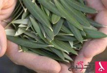 Photo of أعشاب طبية لعلاج السكري