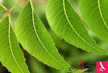 Photo of شجرة النيم