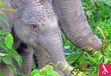 """Photo of تطوير حبوب منع حمل للرجال من """"سم الفيلة""""!"""