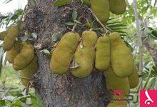Photo of ثمرة (شجرة الخبز) تحلّ مشكلة الجوع في العالم!