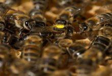 Photo of خصائص علاجية لسم النحل