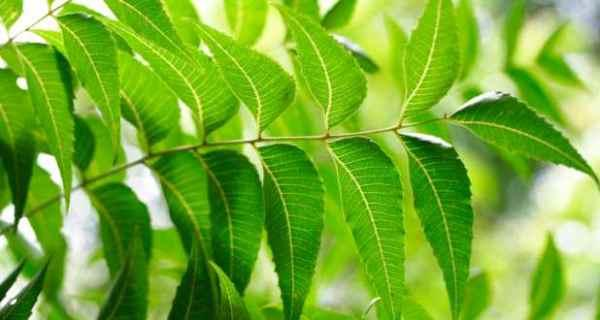 فوائد شجرة النيم للشعر والبشرة مجلة رجيم