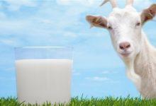 Photo of تعرف على الفوائد الصحية للبن الماعز