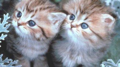 Photo of صور قطط توأم , اجمل الصور للقطط في العالم